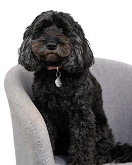 office dog Guinness